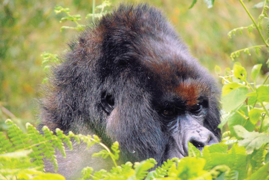 Vuba, the dominant Silverback and leader of Kuryama group.
