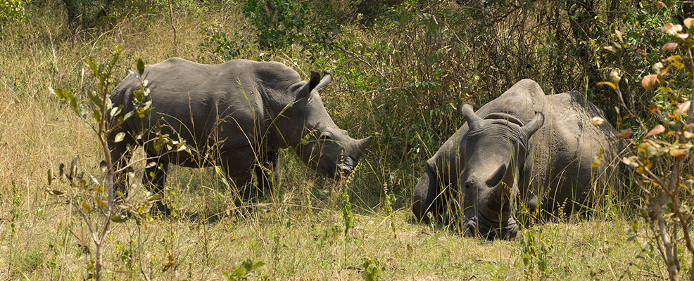 Ziwa Rhinos on the Best of Uganda Wildlife Safari
