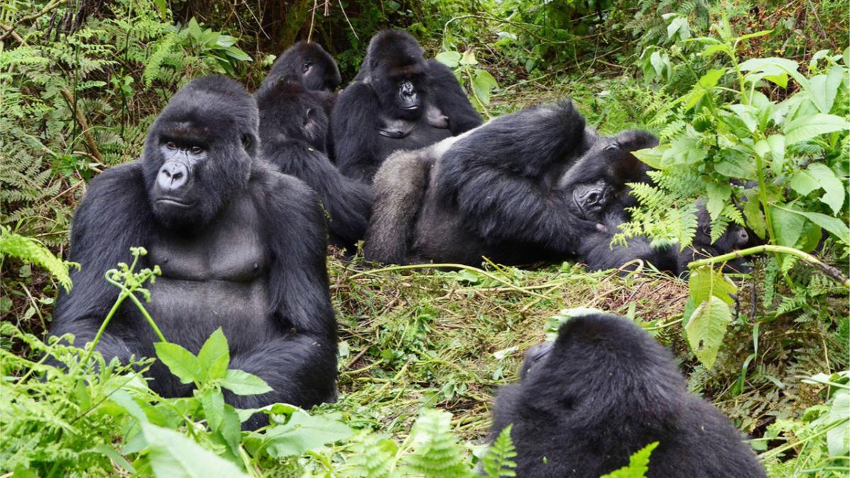 Gorilla Tracking Experience or Better Gorillas