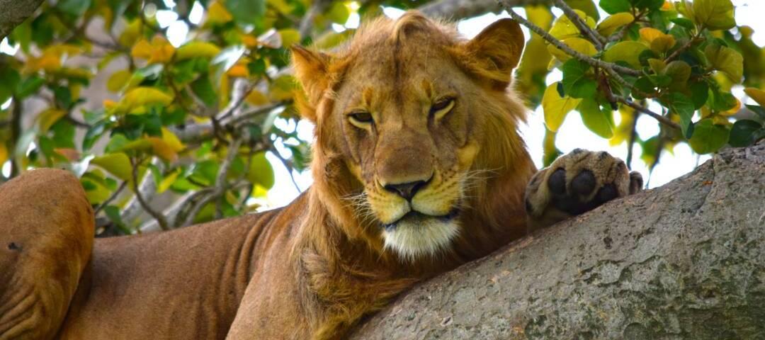 Tree climbing lionsin Uganda