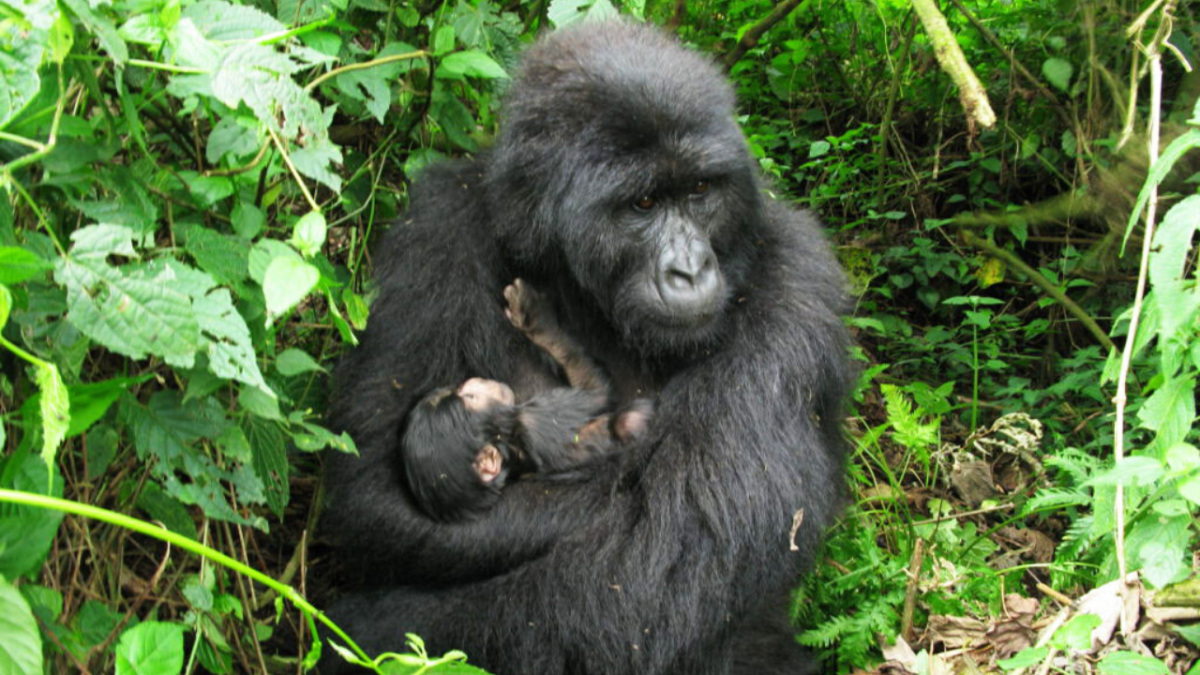 Mapuwa Gorilla Group