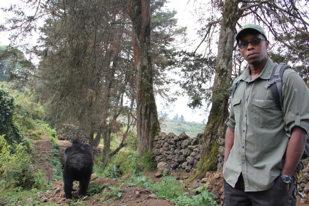Mountain gorilla population increases