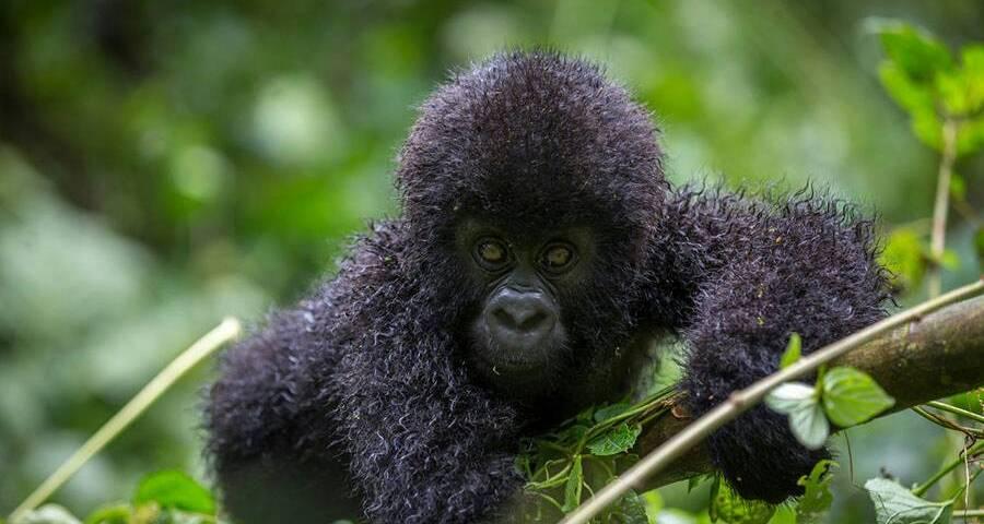Mountain Gorilla Population Increases - 2018 Report