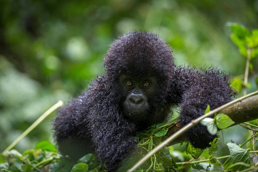 Gorilla trekking and cultural experience