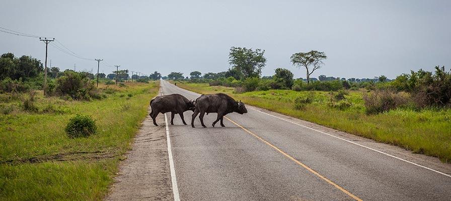 travel to Kibale on the Uganda Primates & Wildlife Safari