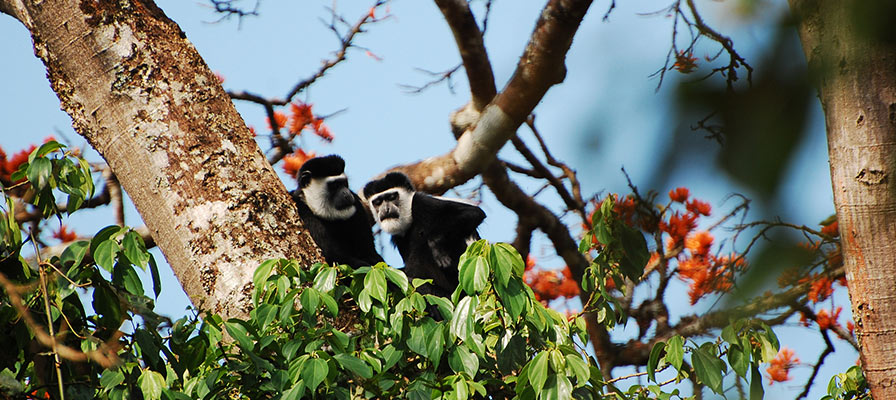 Travel to Kibale National Park, guided primates walk in Bigodi Swamp