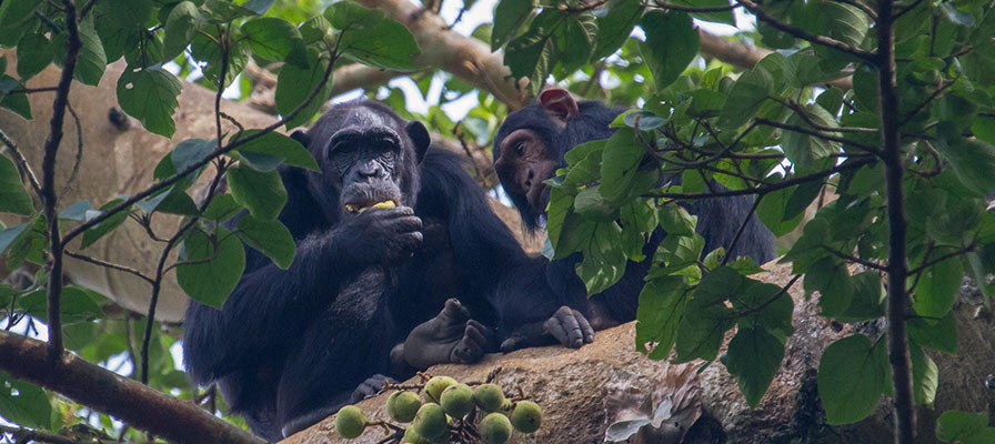 Chimp Habituation experience in Kibale Forest National Park