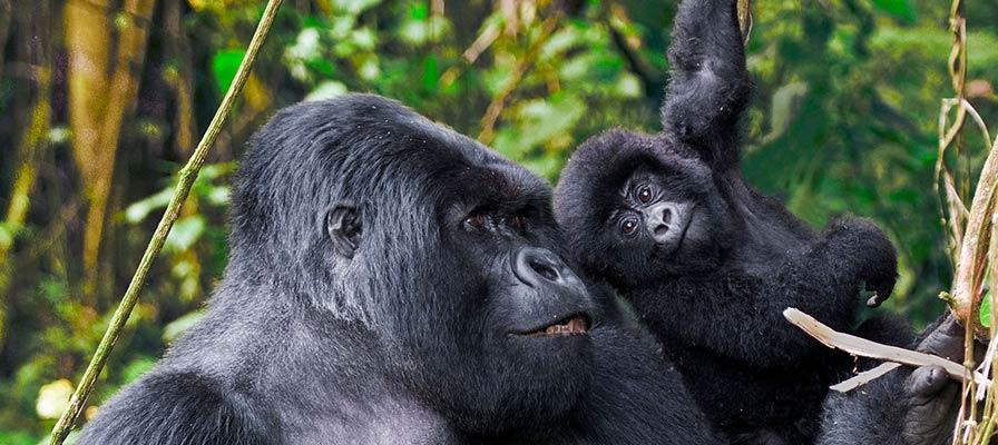 Mountain Gorilla Trek & Cultural Gala Rwanda