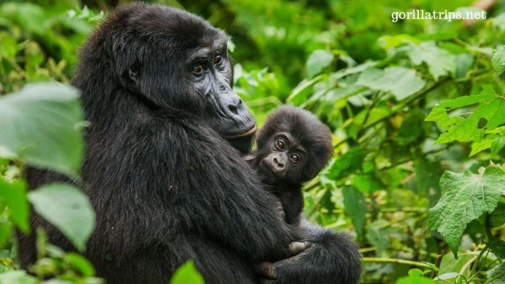 Uganda Popular for Gorilla Trekking