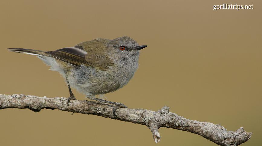Short-tailed Warbler