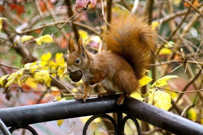 autumn-squirrel