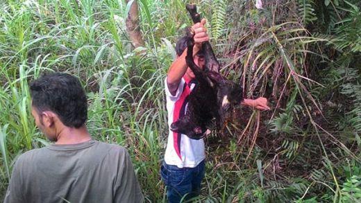 Harimau Berkeliaran di Perkampungan, Warga Ngalau Baribuik Padang Ketakutan, Tiga Kambing Jadi Korban