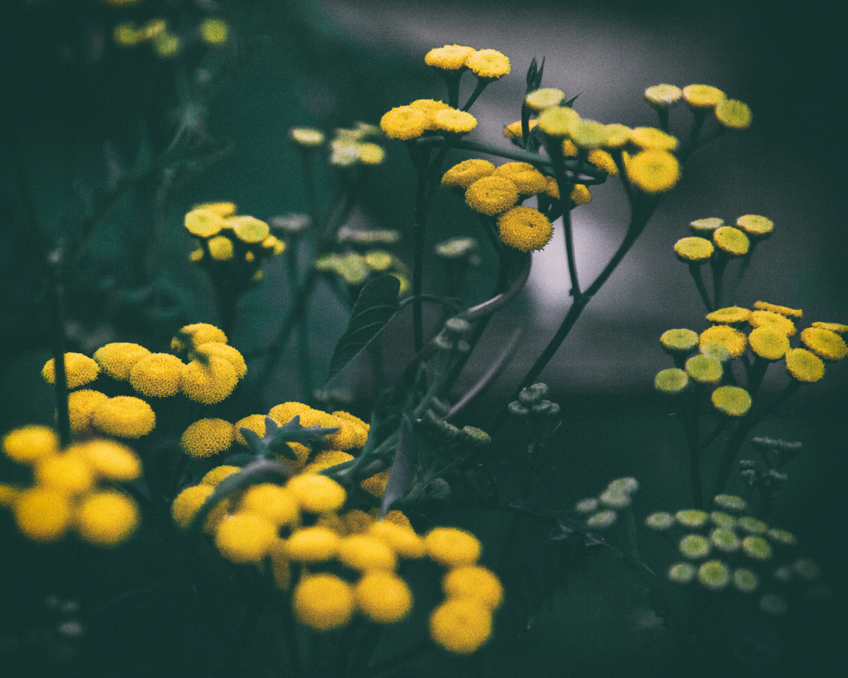 Tansy is a valuable addition in a witch's garden, from use as a diuretic to inducing abortions. It's also quite tasty in stews.