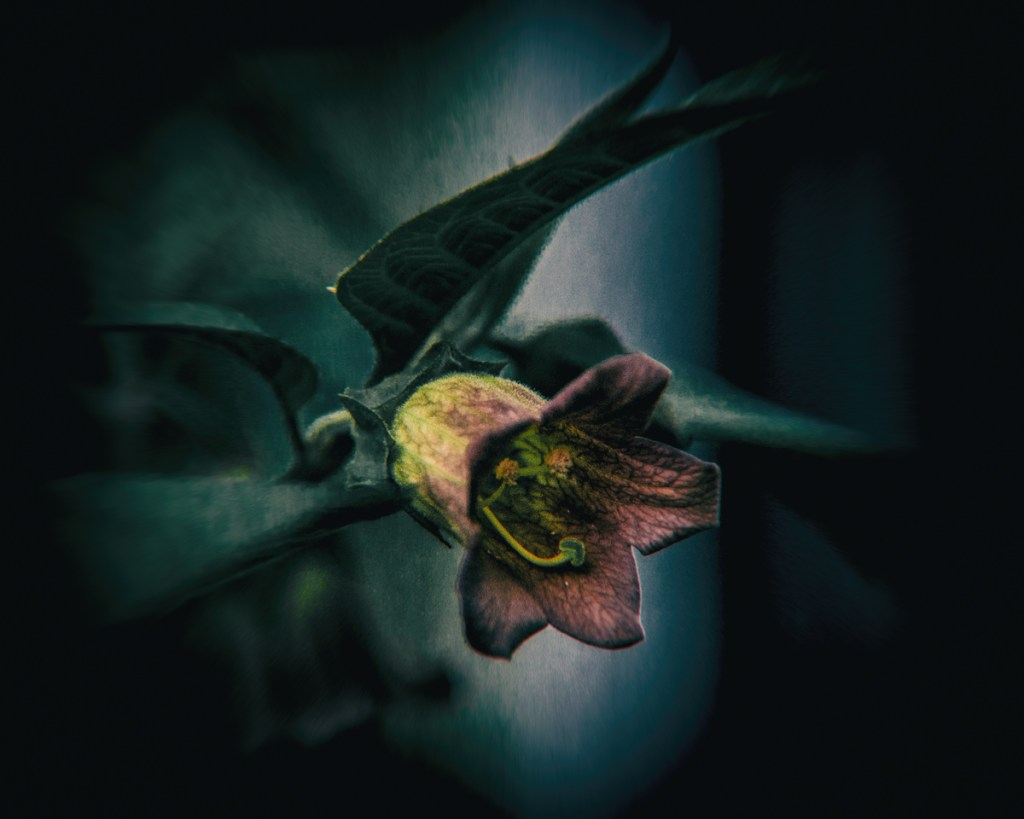 Deadly Nightshade From Witch S Flying Potions To The Beauty Of