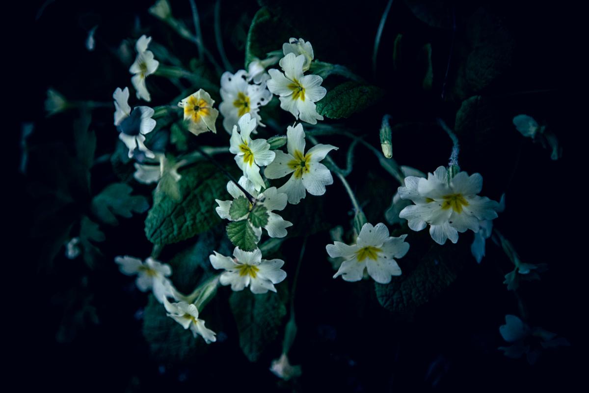 Primrose flowers growing wild, Wiltshire, UK