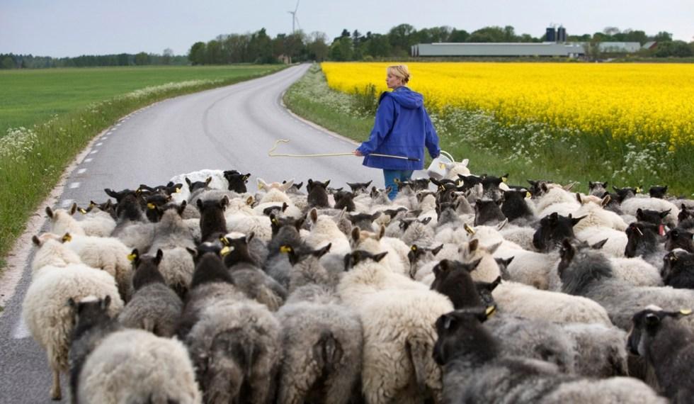 Fårskinn och lammskinn från Gotland kommer från gårdar med god djuromsorg.