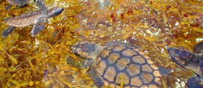 St. Croix Blog, Sargassum Seaweed: Friend and Foe ...