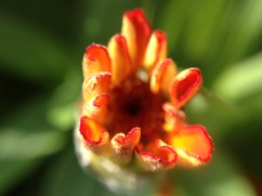 Easy-Macro iPhone 4S - budding flower