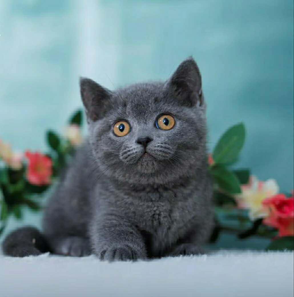 可愛的藍貓 品相好 血緣純正做了疫苗 有禮包 _狗鋪子