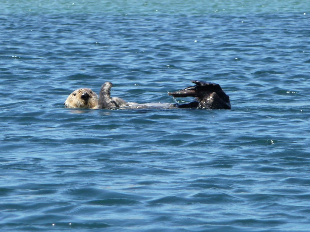 The sea otters are so cute - and lounge around tangled in kelp along the shoreline