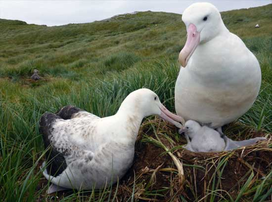 Wandering albatross numbers are still declining. Photo Jess Walkup.