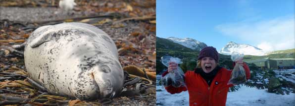 Max sleeps peacefully just outside base so Siân takes the opportunity to collect his scat. From the scats we can tell just what the leopard seals have been eating. Photos Siân Tarrant and Lucy Quinn.