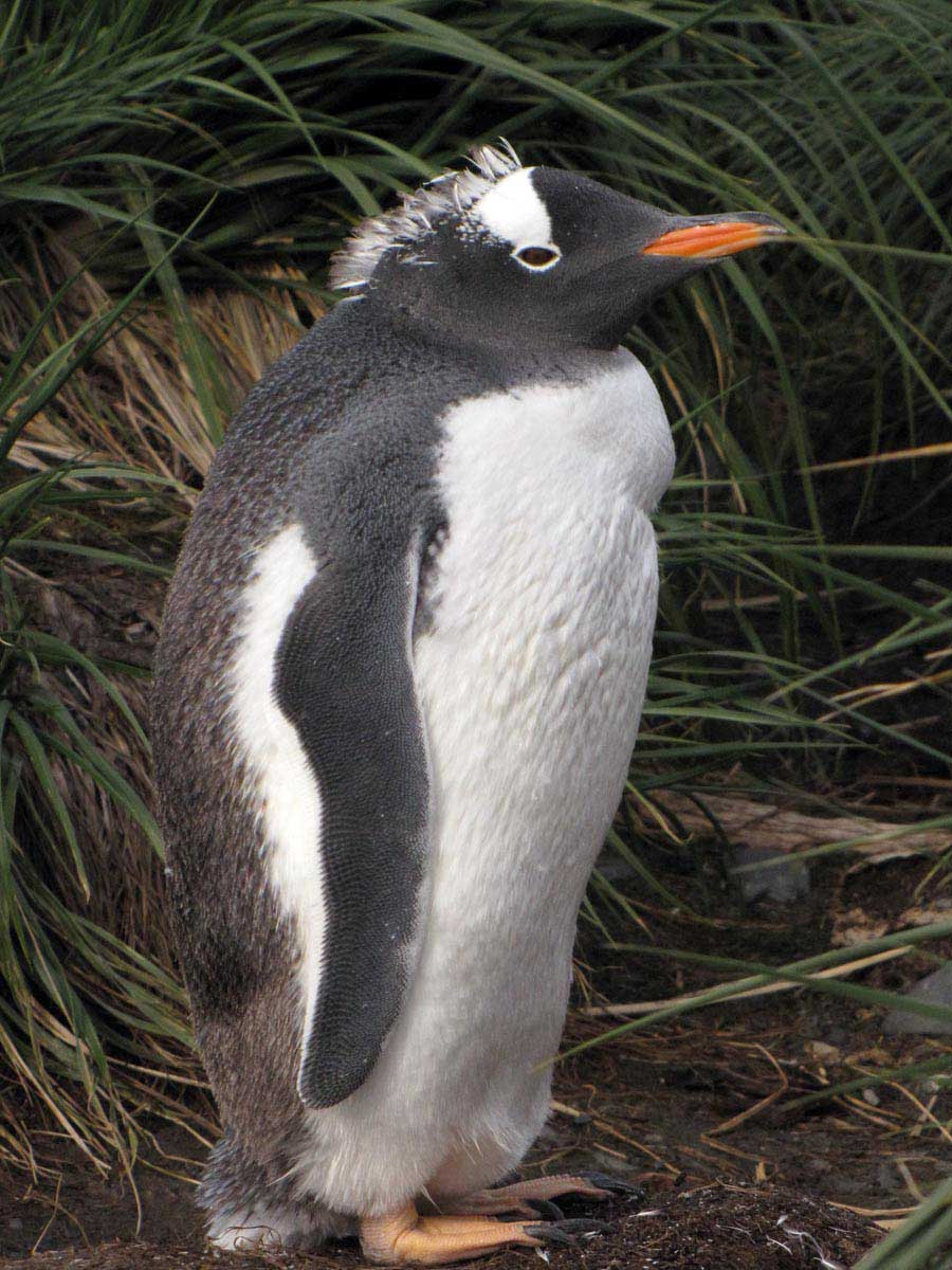 One of the successfully raised gentoo chicks from last season moulting into its adult feathers.