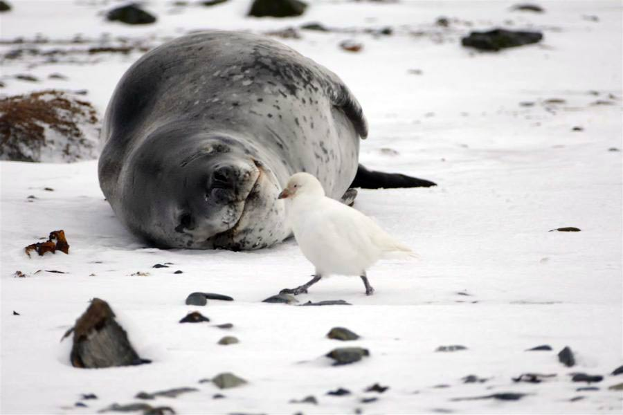 Leopard seal with a sheathbill. Photo Tim-Morley.