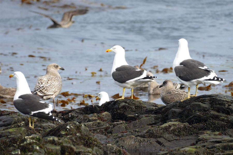 Kelp gulls at Bird island