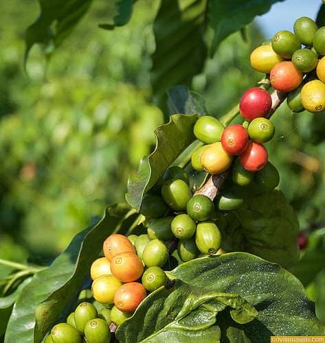 Image Result For Kona Coffee Kona Hi