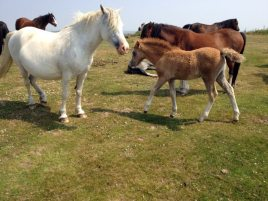 Gower ponies on the commons close to Delvid Stables holiday cottage, Llangennith, Gower