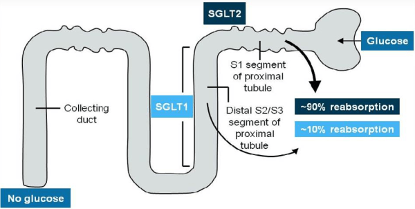 Glucose is reabsorbed by SGLT1 and 2