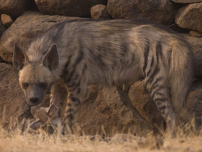 hiena selvagem
