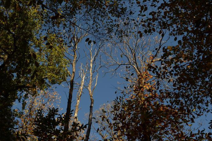 Châtaigniers atteints par la maladie de l'encre en forêt domaniale de La Malmaison