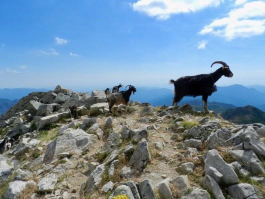 Chèvres en montagne - Une faune et flore exceptionnelle