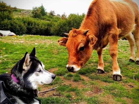 chien-et-vache