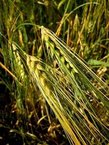【家庭の医学】大麦が悪玉コレステロールを減らし動脈硬化予防に!レシピも