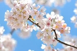 めざましテレビ:インドア花見セットのお取り寄せ!おうちで花見ができる