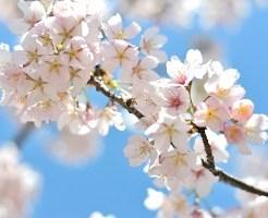桜、お花見
