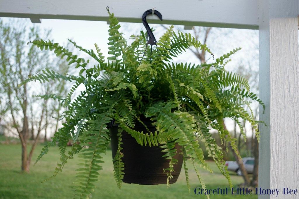 Curb Appeal - Hanging Fern