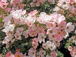 Carefree Delight Rose