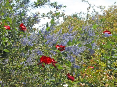 Ceaothus and Altissimo Rose