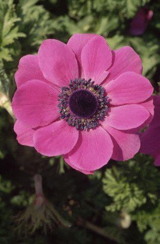 anemona in gradina