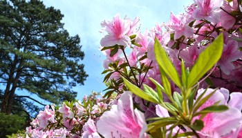 azalea flowers at Norfolk Botanical Garden in Norfolk, Virginia