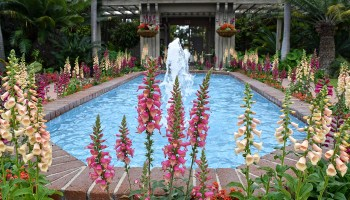 lupine flowers around fountain at Sherman Library & Gardens in Corona del Mar, California