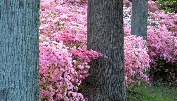 pink azalea bushes at Brighton Dam Azalea Garden in Brookeville, Maryland