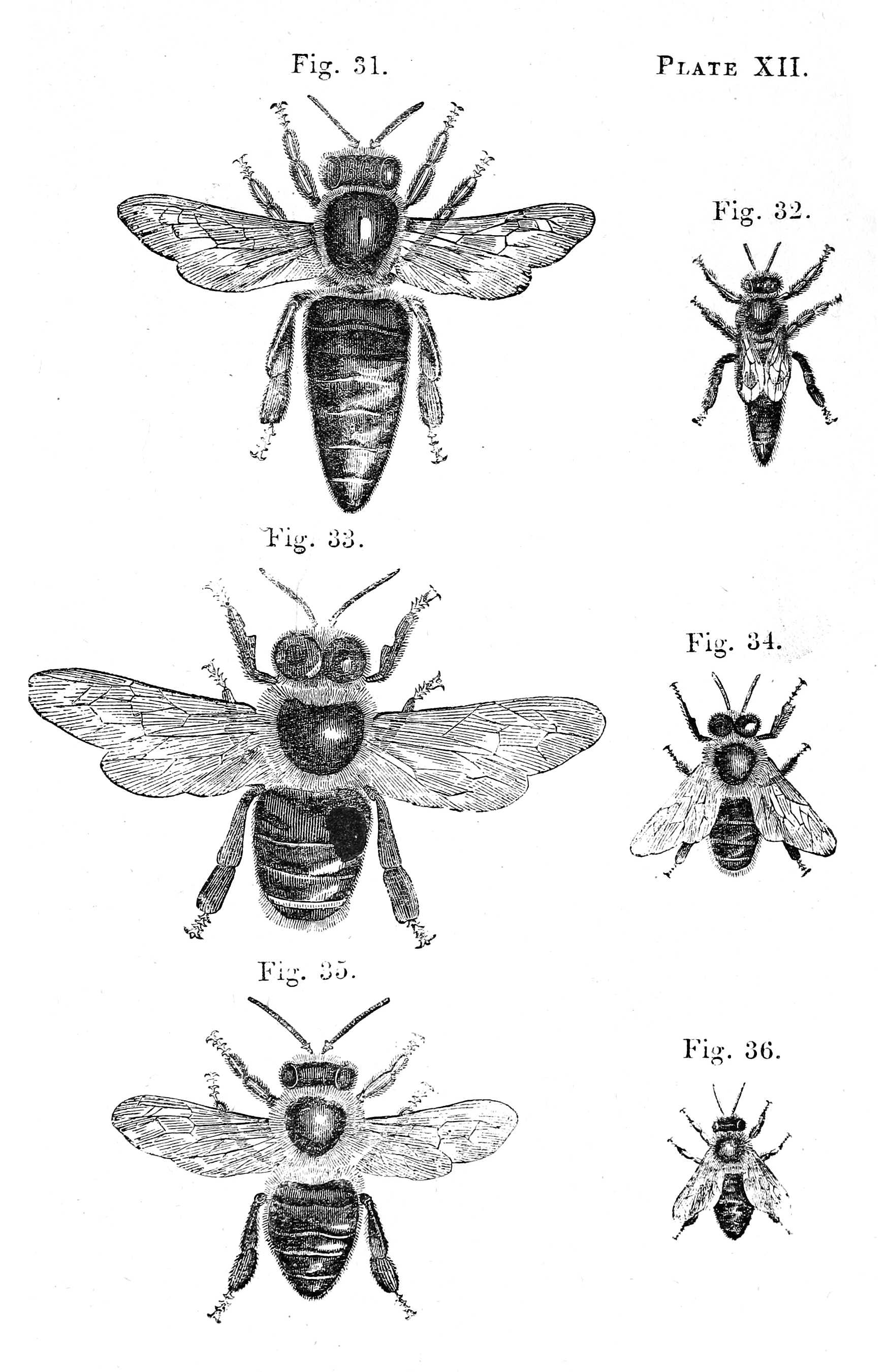 Vintage Bee Illustration Page For Book Art