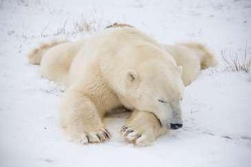 Polar Bear. Photo Credit Alex de Vries