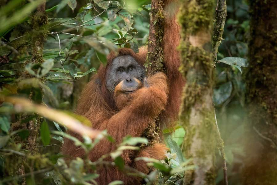 Togos, the alpha male of the area. New orangutan species discovered in Batang Toru, North Sumatra. They are on the brink of extinction due to a hydropower dam project. Contact: Helen Buckland SOS. Picture: Andrew Walmsley