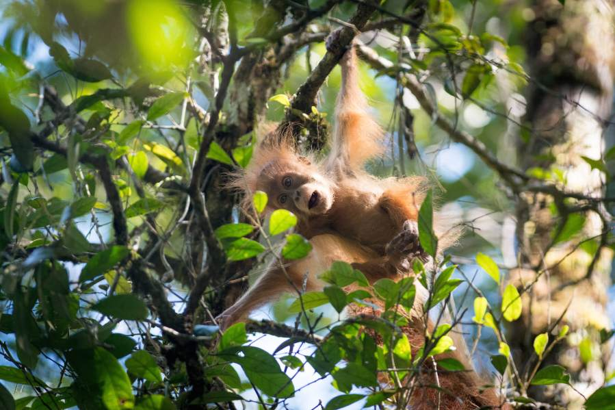 Beta, an adult female orangutan with her two year old infant, Bitang. New orangutan species discovered in Batang Toru, North Sumatra. They are on the brink of extinction due to a hydropower dam project. Contact: Helen Buckland SOS. Picture: Andrew Walmsley